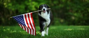 Border Collie with American Flag